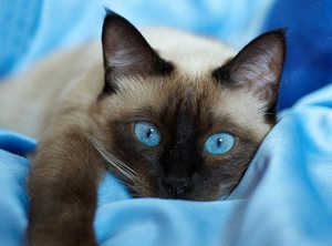 """Алмазная мозаика """"Тайская кошка"""", полная выкладка"""