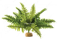 Растение Boston Fern