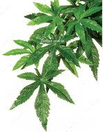 Растение шелковое ABULITON