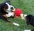 Игрушка для собак поиграем в перетягивание Jolly Tug ASST