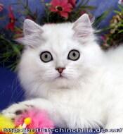 Британский длинношерстный котенок, кот, серебристый затушеванный Анно Домини Зигзаг Удачи - для души и для выставок