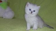 Британский котёнок окраса чёрный серебристый затушёванный.