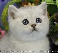 Элитный британский котенок окраса серебристая шиншилла Исполнитель Желаний ожидает любящих и заботливых владельцев