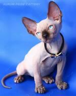 Голубоглазые котята канадского сфинкса