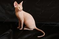 Прекрасный котенок от титулованных родителей