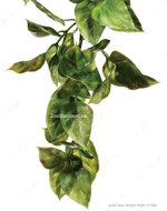 Растение  AMAPALLO